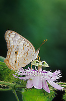 White Peacock, Anartia jatrophae, adult on Passionflower (Passiflora incarnata) , The Inn at Chachalaca Bend, Cameron County, Rio Grande Valley, Texas, USA