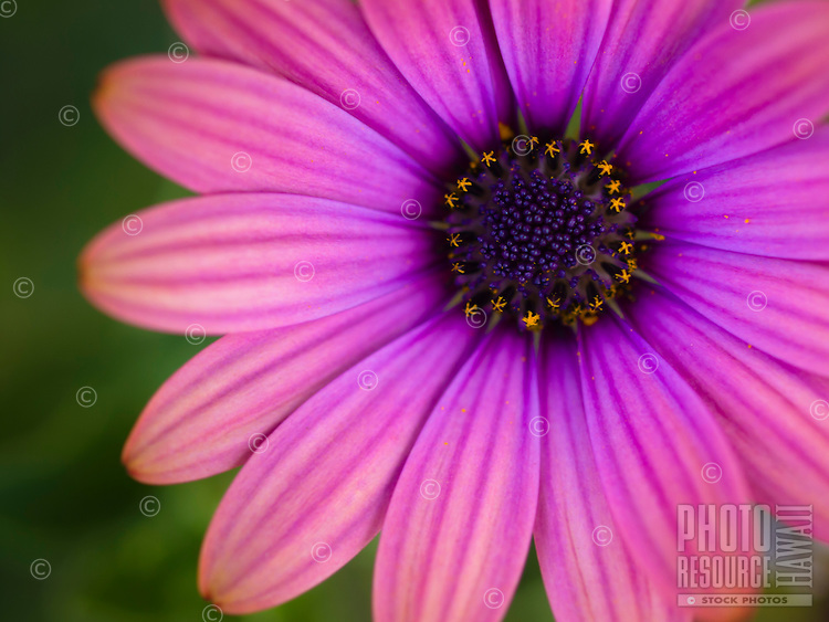 A close-up of a pink Gerber daisy in a garden on the Big Island.