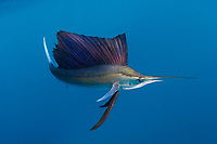 pelagic Atlantic sailfish, Istiophorus albicans, (considered by some to be a single species with Istiophorus platypterus), lit up with bright blue markings and white tail, indicating excited state, Yucatan Peninsula, Mexico (Caribbean Sea) near Contoy Island, Isla Mujeres, Cozumel, Cancun