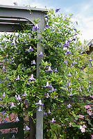 Clematis and arbor trellis, heads in the sun, underplanted with low-growing shrubby roses