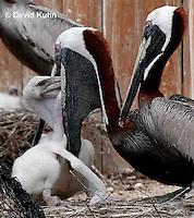 0305-0834  Brown Pelican Feeding Young, Pelecanus occidentalis © David Kuhn/Dwight Kuhn Photography.