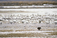 Bald eagle feeding on waterfowl near tundra swans.  Lower Klamath National Wildlife Refuge, OR-CA.  Winter.