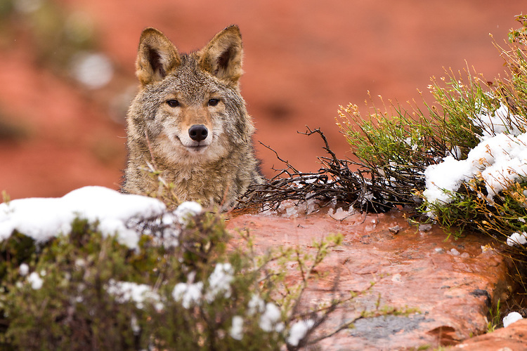Coyote looking over a wet hill - CA