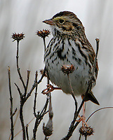 Adult savannah sparrow eating weed seeds on foggy morning
