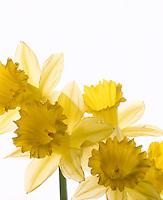 Yellow Daffodils.