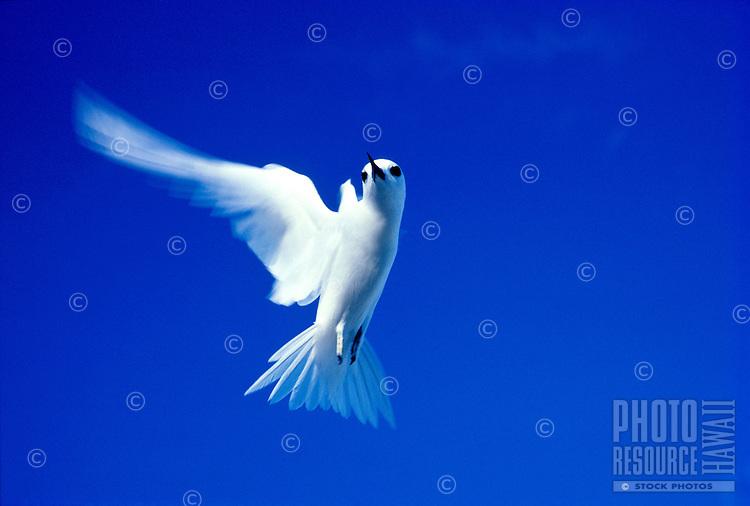 Fairy or white tern, Manu-o-ku in flight against blue sky, Hawaii