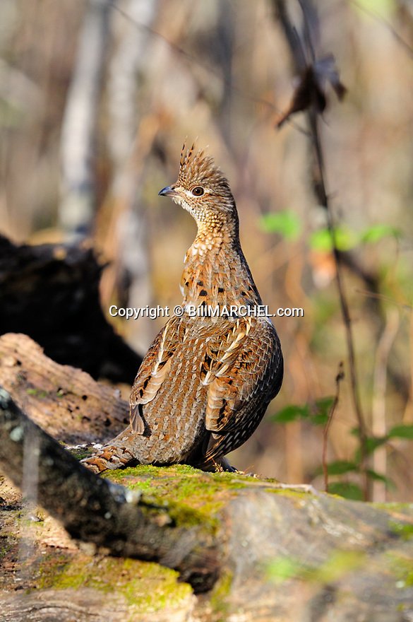 00515-074.18 Ruffed Grouse is on drumming log during fall.  Male, drum, court, breed, territory.