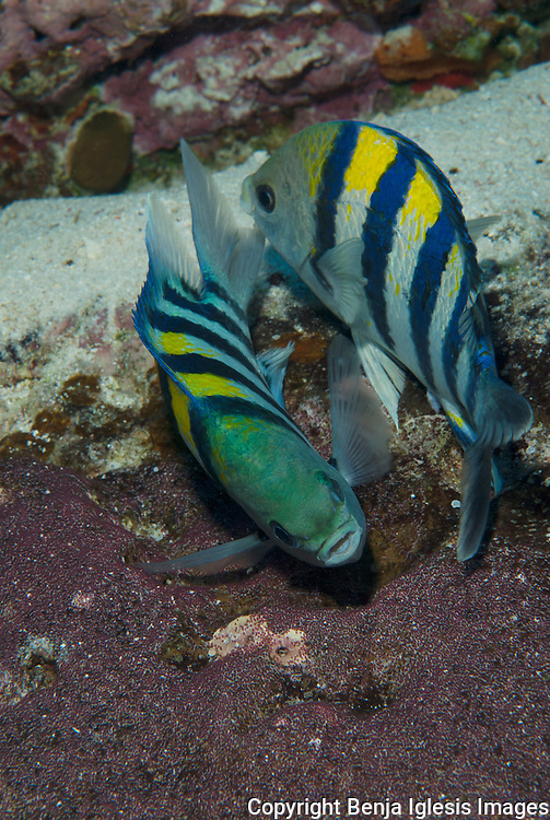 Two indopacific Sergeant ( abudefduf vaigiensis ) protecting their eggs.