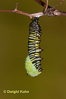 MO06-537z  Monarch forming a Chrysalis - Danaus plexipuss...