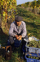 Europe/Hongrie/Tokay/Env Sarospatak: Les vignes du château Megyer - Vendangeur faisant une pause