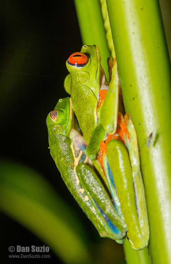 Red-eyed Treefrogs, Agalychnis callidryas, in amplexus (mating) in Tortuguero National Park, Costa Rica