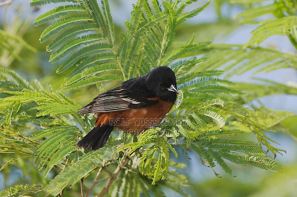 Orchard Oriole, Icterus spurius,male, South Padre Island, Texas, USA, May 2005