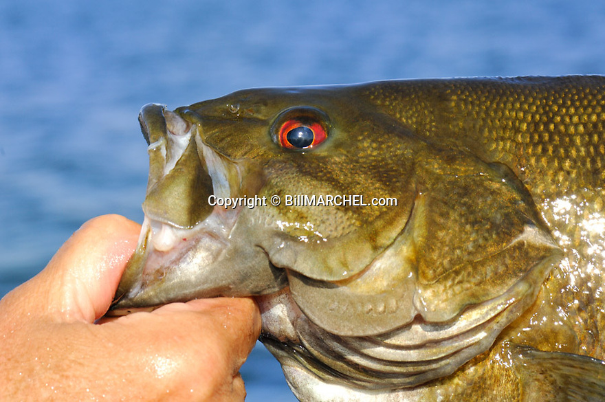 01064-008.18 Smallmouth Bass in the five pound range is being lipped by anglers hand.   Fish, fishing, lake, smallie.  H8L1