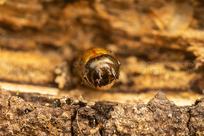 A Robber Fly (Laphria index/ithypyga complex) just before emergence (pupa).