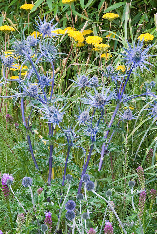Eryngium Big Blue in flower with Achillea and smaller Eryngium