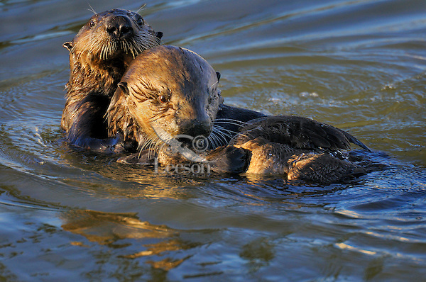 Sea Otters (Enhydra lutris) playing with a female surf scoter.  This female sea otter and her three to four month old pup terrorized the birds in this one cove, but we never saw them kill and eat one.  They would play with it for 5-10 minutes and then let it go.