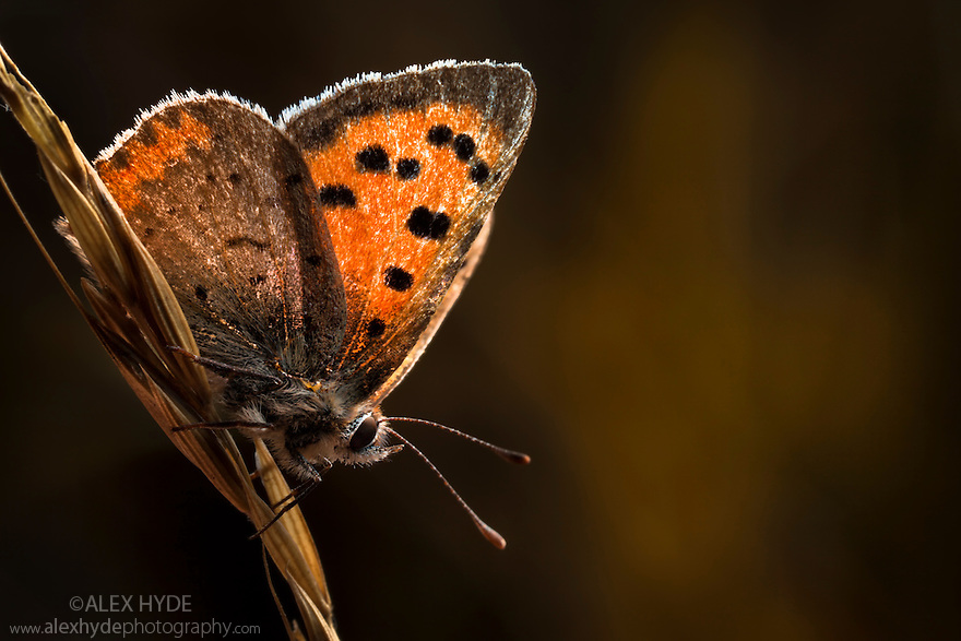 Small copper butterfly (Lycaena phlaeas) in meadow. Peak District National Park, Derbyshire, UK. September.