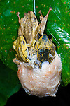 Bornean File-eared Frogs (Polypedates otilophus) - large female (tip) and several males in mating aggregation (amplexus), with foam egg / spawn mass below. Danum Valley, Sabah, Borneo.