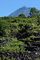 Weinanbau in der Zona das Adegas auf der Insel Pico, Azoren, Portugal, Unesco-Weltkulturerbe