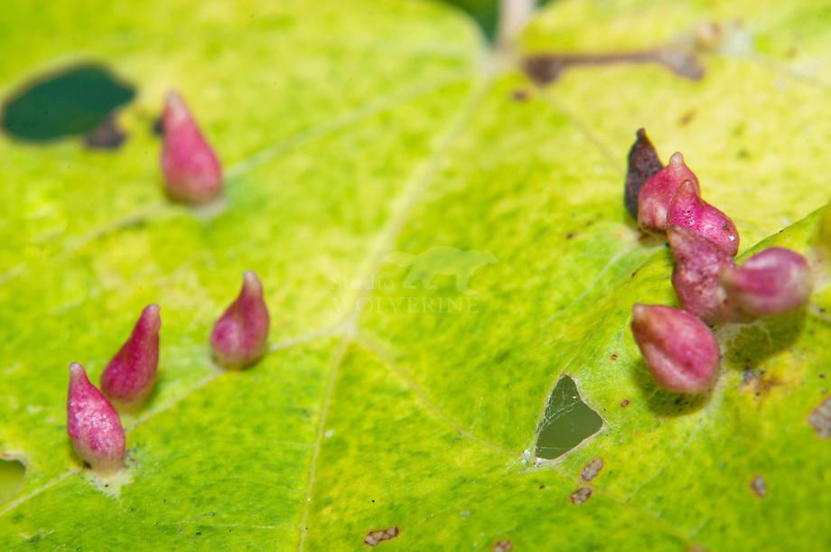 Linde galmijt (Eriophyes tiliae tiliae)