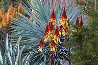 Aloe wickensii (Geelaalwyn) flowering succculent in Gerhard Bock garden in front of Yucca rostrata'Saphire Skies'