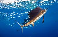 Atlantic sailfish, Istiophorus albicans, hunting and feeding on round sardinella or Spanish sardines, Sardinella aurita, bait ball, Isla Mujeres, Mexico, Gulf of Mexico, Caribbean Sea, Atlantic Ocean