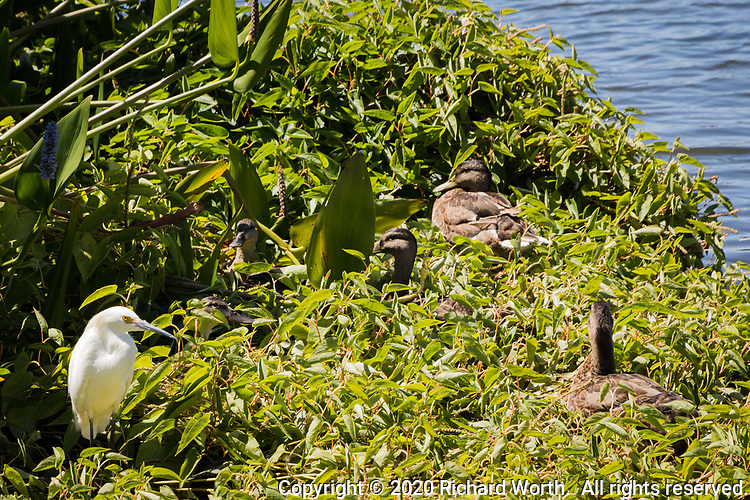A Snowy egret stands in the green vegetation along the edge of a large pond along with five female mallard ducks, resting in the greenery on a summer afternoon.