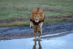 The Lion Spring : Lion leaps over stream to avoid getting paws wet by Grant Atkinson