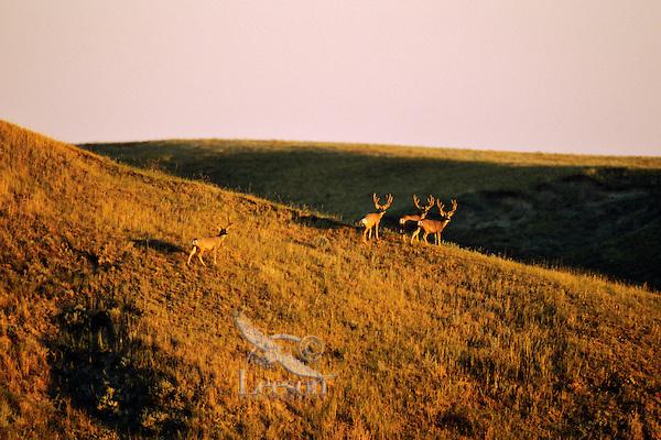 Mule Deer bucks (Odocoileus hemionus).  Western U.S., late summer.