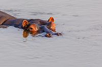 africa, Zambia, South Luangwa National Park, hippo head in the Luwanga river