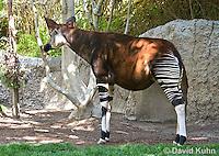0605-1101  Okapi, Okapia johnstoni  © David Kuhn/Dwight Kuhn Photography