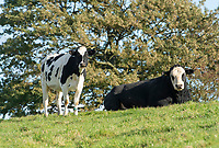 Dairy cow and bull on a dairy farm, Castle Douglas, Dumfries and Galloway, Scotland.