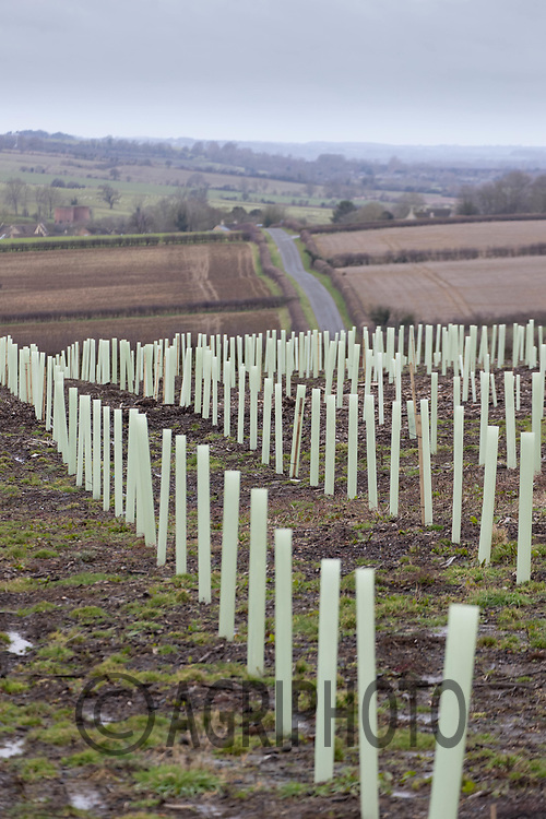 16-2-2021 New trees planted on a recently felled woodland site <br /> ©Tim Scrivener Photographer 07850 303986<br />      ....Covering Agriculture In The UK....