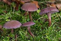 Violetter Lacktrichterling, Amethystblauer Lacktrichterling, Violetter Bläuling, Bläuling, Lack-Bläuling, Laccaria amethystina, Laccaria amethystea, Amethyst Deceiver
