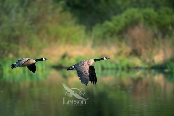 Canada Goose in flight. British Columbia. (Branta canadensis).