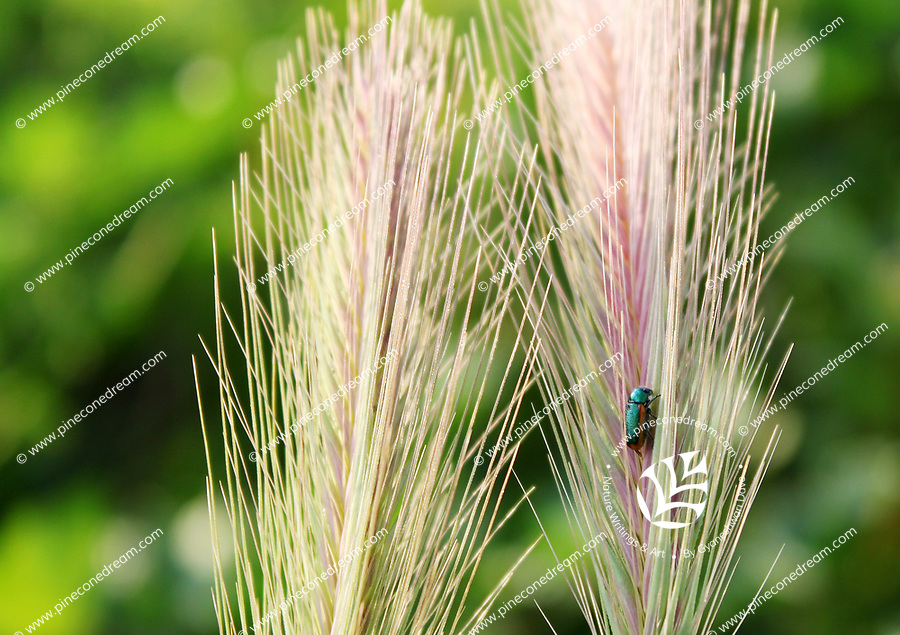 A shiny exotic looking blue green bug climbs on a shiny stalks of wild grass - Free nature stock image.