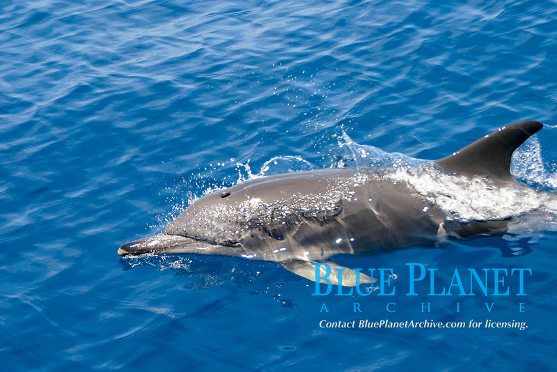 short-beaked common dolphins, Delphinus delphis, missing yellow coloration, Azores Islands, Portugal, North Atlantic Ocean