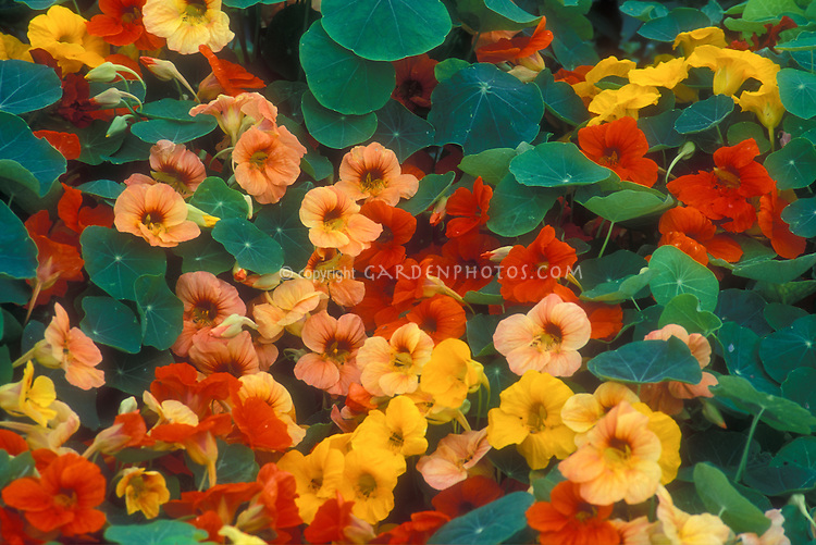 Tropaeolum majus 'Tip Top Alaska Mixed', nasturtiums, annual edible flowers in variety of colors, orange, yellow, peach salmon apricot