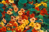 Tropaeolum majus 'Tip Top Alaska Mixed', nasturtiums, annual edible flowers in variety of colors, orange, yellow, peach salmon apricot