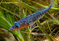 1S31-512z   Male Threespine Stickleback, Mating colors showing bright red belly and blue eyes, carrying nest material in his mouth, Gasterosteus aculeatus,  Hotel Lake British Columbia