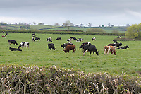 14-5-2021 Dairy cows grazing in the Vale Of Belvior <br /> ©Tim Scrivener Photographer 07850 303986<br />      ....Covering Agriculture In The UK....