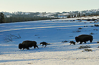 American Bison (Bison bison) cows with very young calves trudge across snow covered grasslands in early spring, Western U.S..