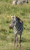Juvenile Grant's Zebra, Equus quagga boehmi, in Lake Nakuru National Park, Kenya