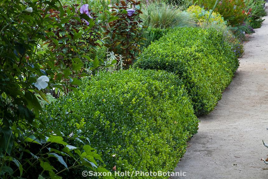 Pruned boxwood hedge for formal herb garden in Gamble Garden, Palo Alto, California