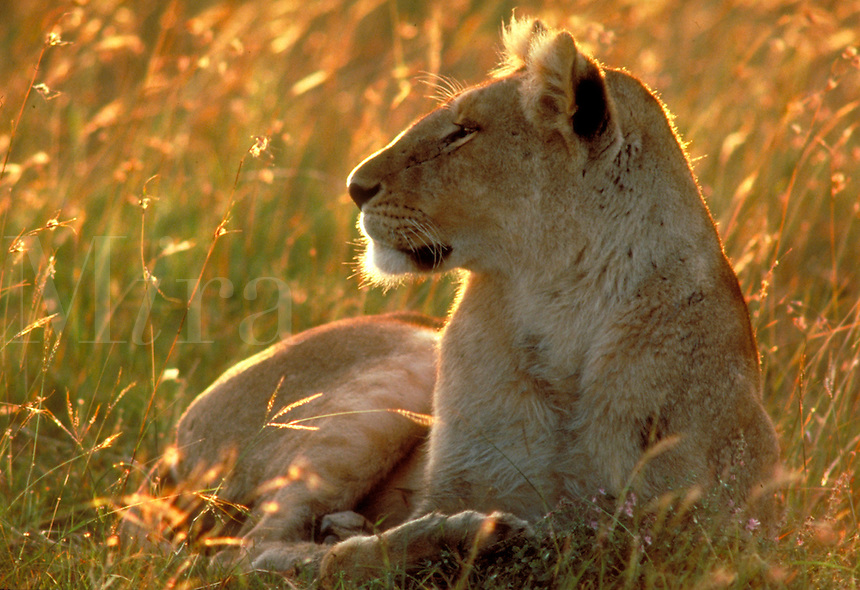 Single lion (female, lioness) lying in the golden glow of sunset watchful and aware, in tall grass, Kenya, Africa.