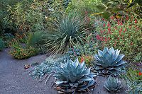 Oregon summer-dry garden plantings in gravel, dry garden with Agave ovatifolia 'Frosty Blue', (Whale's Tongue Agave), salvia, horned poppy , Nolina nelsonii; Kuzma Garden