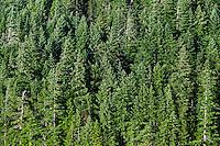 Stand of coniferous trees, British Columbia, Canada