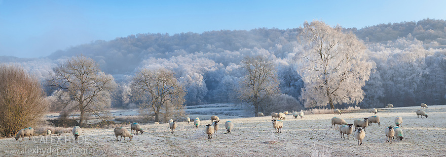 Frosty trees and sheep below Froggatt Edge. Peak District National Park, Derbyshire. UK. December. Digitally stitched panorama.