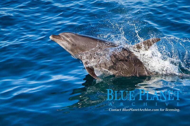 common bottlenose dolphin, Tursiops truncatus, jumping, leaping, Baja California, Mexico, Gulf of California, Sea of Cortez, Pacific Ocean