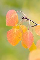 Aspen leaves detail